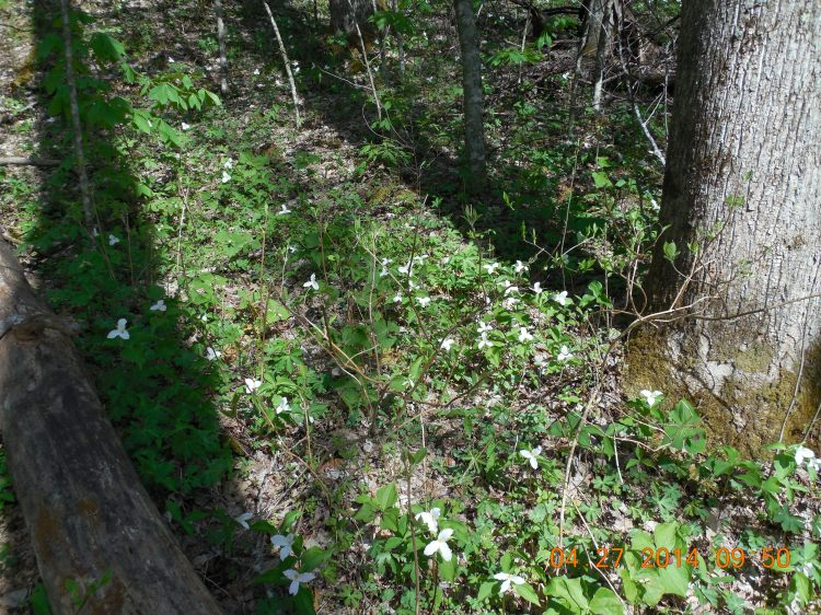 Forest floor littered with trillium.